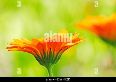 Pot Marigold, English Garden Marigold, Garden Marigold, English Marigold or Garden-Pot Marigold (Calendula officinalis) - Stock Photo