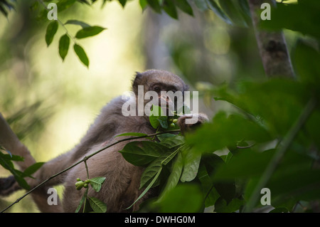 Northern Muriqui - Stock Photo