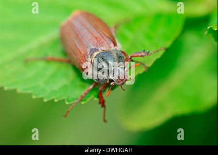 Common Cockchafer or May Bug (Melolontha melolontha), North Rhine-Westphalia, Germany