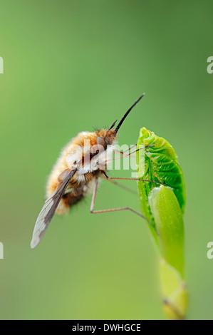 Greater Bee-Fly (Bombylius major), North Rhine-Westphalia, Germany - Stock Photo