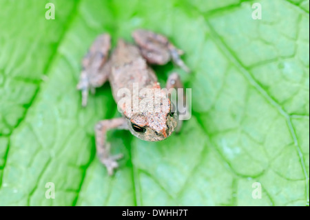 Common Toad or European Toad (Bufo bufo), juvenile, North Rhine-Westphalia, Germany - Stock Photo