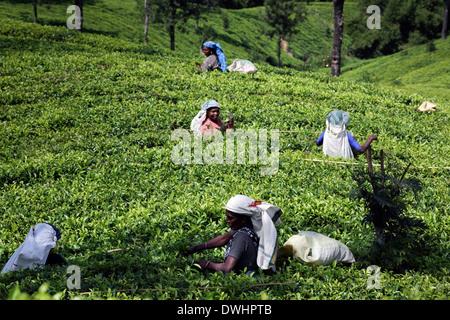 Tea pluckers picking tea leaves on estate near Maskeliya in the Sri Lankan highlands - Stock Photo