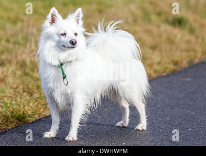Beautiful young white Spitz dog standing on path - Stock Photo