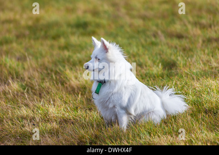 White Pomeranian dog sitting on grass field - Stock Photo