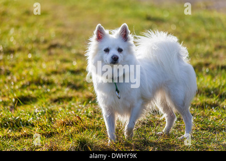 White Pomeranian dog standing on grass field - Stock Photo