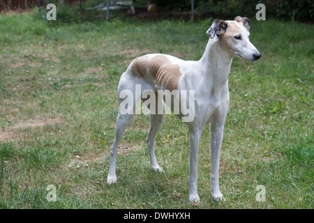 Mostly white lurcher standing on grass looking ahead - Stock Photo