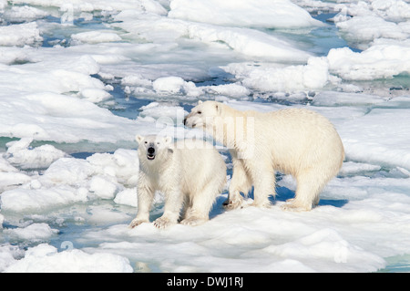 Polar Bear Mother with Roaring Yearling Cub, Ursus maritimus, Olgastretet Pack Ice, Spitsbergen, Svalbard Archipelago, - Stock Photo