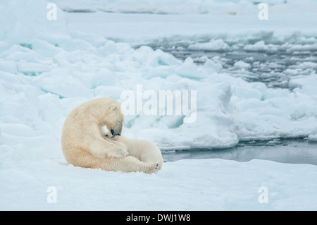 Polar Bear Mother, Ursus maritimus, Nursing and Licking Cub, Olgastretet Pack Ice, Spitsbergen, Svalbard Archipelago, - Stock Photo