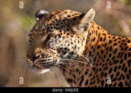 An adult female Leopard (Panthera pardus) in the Savuti area of Botswana - Stock Photo