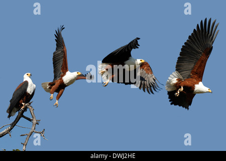 African Fish Eagle (Haliaeetus vocifer) in Chobe National Park in Botswana - Stock Photo