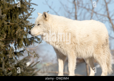 Arctic Wolf Standing in trees - Stock Photo
