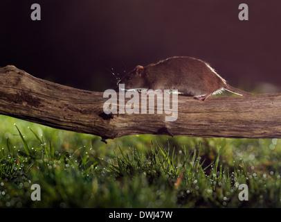 Brown Rat (Rattus norvegicus) running along fallen tree branch at night - Stock Photo