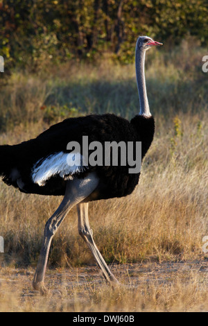 Male Ostrich (Struthio camelus) in Etosha National Park in Namibia - Stock Photo
