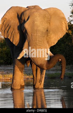 An African Elephant (Loxodonta africana) at a waterhole in the Savuti region of Botswana - Stock Photo