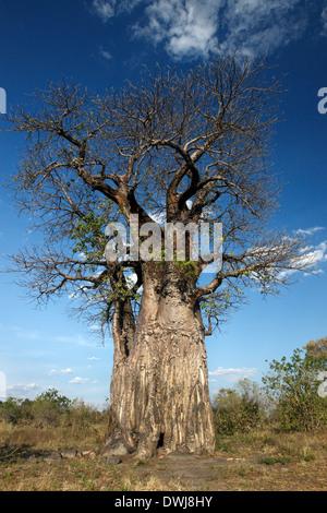 An old Baobab Tree (Adansonia digitata) in the Savuti area of Botswana - Stock Photo
