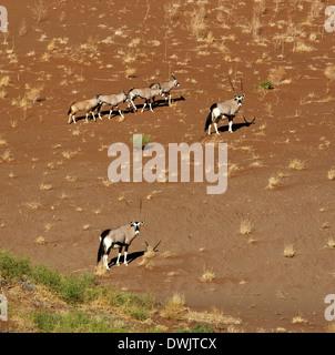 Group of Gemsbok (Oryx) on a sand dune near Sossusvlei in the Namib Desert in Namibia - Stock Photo