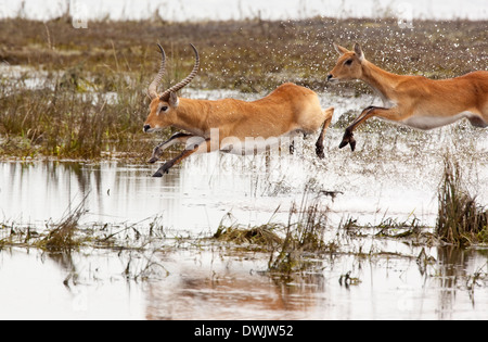 A group of Red Lechwe antelopes (Kobus leche) running through shallow water in the Chobe National Park in Botswana - Stock Photo
