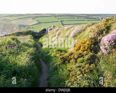 South West Coast Path , on the Lizard, near Gunwalloe, Cornwall. Wild flowers - Stock Photo