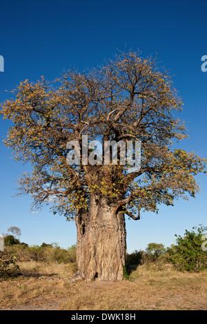 Baobab Tree (Adansonia digitata) in the Savuti area of Botswana - Stock Photo