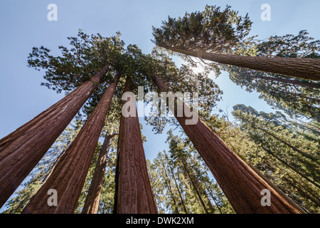Huge trees in the Sequoia National Park - Stock Photo