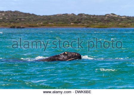 Whale swimming in sea - Mexico - Stock Photo