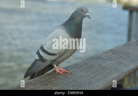Feral Pigeon (Columba livia) in London - Stock Photo