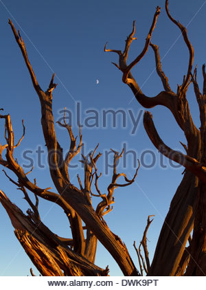 The moon is see between scragged branches of an old Juniper Tree in Canyonlands National Park, Utah, USA - Stock Photo