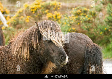 Eriskay ponies near Loch Druidibeg, South Uist, Western Isles, Scotland, UK - Stock Photo