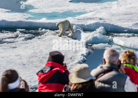 Guests from the Lindblad Expedition ship with polar bear (Ursus maritimus), Cumberland Peninsula, Baffin Island, - Stock Photo