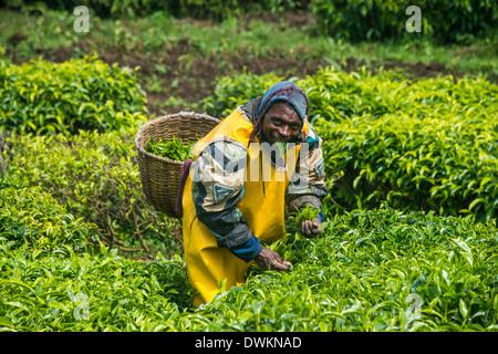 Tea plantation in the Virunga mountains, Rwanda, Africa - Stock Photo