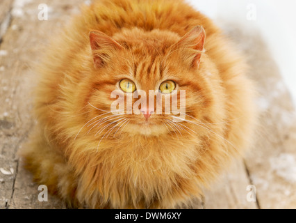 Red tabby hairy cat on wooden stairs - Stock Photo