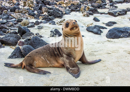 Galapagos sea lion pup (Zalophus californianus wollebaeki), Galapagos, UNESCO World Heritage Site, Ecuador, South - Stock Photo