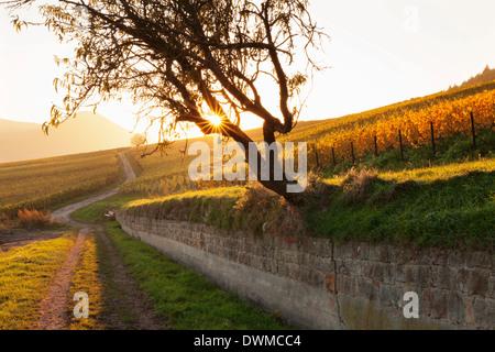 Path through vineyards in autumn at sunset, Burrweiler, German Wine Route, Pfalz, Rhineland-Palatinate, Germany, - Stock Photo