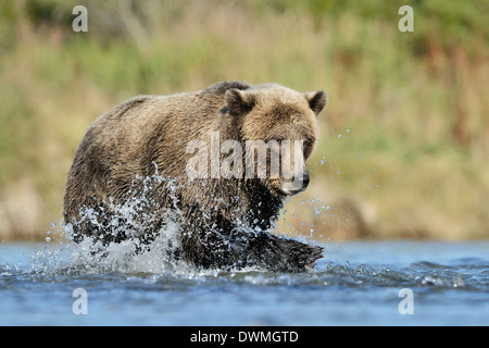 Grizzly bear (Ursus arctos horribilis) fishing in water and fish in front. - Stock Photo