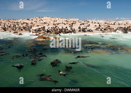 Cape fur seal colony (Arctocephalus pusillus) at Geyser Island, Dyer Island offshore from Klein baai, Western Cape, - Stock Photo