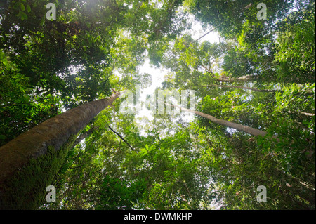 Tall dipterocarp trees in primary rainforest in the Maliau Basin Conservation Area, Sabah, Borneo, Malaysia, Southeast - Stock Photo