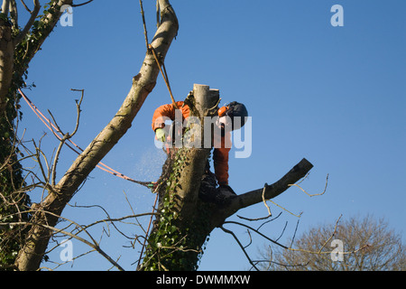 UK Tree Surgeon using a chainsaw to lop branches off ash tree - Stock Photo