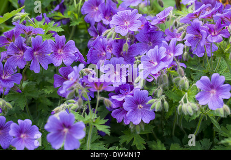 Herbaceous Blue Geraniums in flower in an English cottage garden - Stock Photo