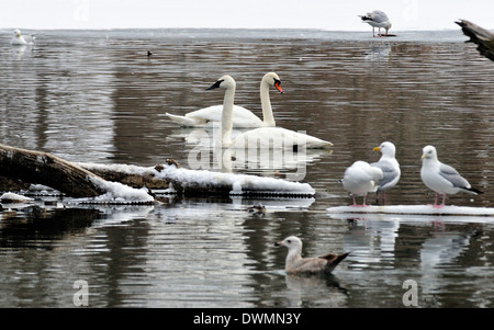 Mute and Trumpeter Swans.  Cygnus olor / Cygnus buccinator - Stock Photo