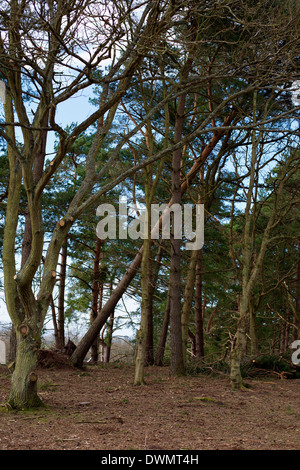 An uprooted pine tree on a Bronze age barrow in a heathland forest - Stock Photo