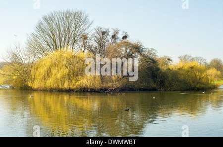 Heron nesting area on an island in the pond in Verulamium Park, St Albans. - Stock Photo