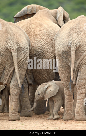 African elephant (Loxodonta africana) baby, Addo Elephant National Park, South Africa, Africa - Stock Photo