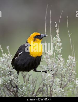 Male Yellow-Headed Blackbird (Xanthocephalus xanthocephalus), Yellowstone National Park, Wyoming, United States - Stock Photo