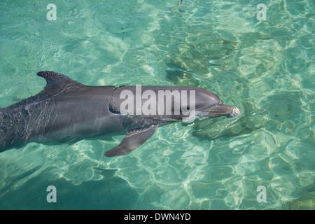 Honduras, Honduran Bay Islands, Roatan. Anthony's Key, bottlenose dolphin (Tursiops truncatus) aka porpoise. - Stock Photo