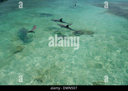 Honduras, Honduran Bay Islands, Roatan. Anthony's Key, pod of bottlenose dolphins (Tursiops truncatus) aka porpoises. - Stock Photo