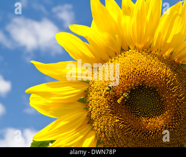 A beautiful yellow sunflower with bees with a blue sky and clouds behind it - Stock Photo