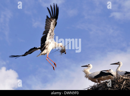 Stork takes care of its young and prepares the nest