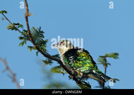 Diderik Cuckoo (Chrysococcyx caprius), male, Kruger National Park South Africa - Stock Photo