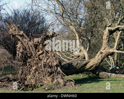 A fallen tree toppled by winter storms in early 2014 at Hillier Gardens showing the shallow root system, - Stock Photo