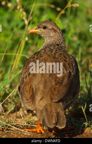 Natal Spurfowl (Pternistis natalensis), Kruger National Park South Africa - Stock Photo